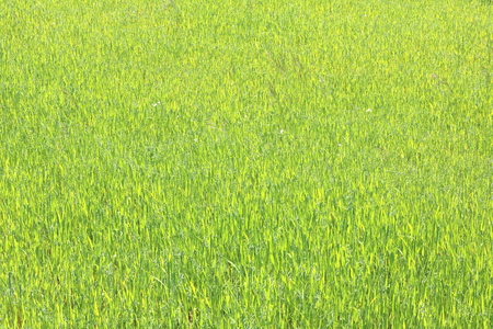 Natural green background with juicy spring green grass