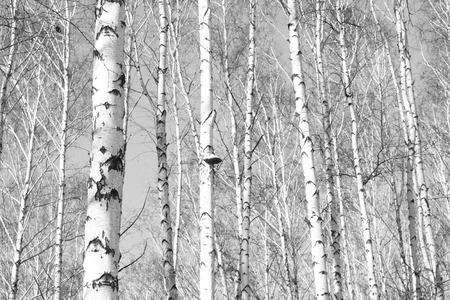 Black-and-white photo of forest landscape with birches Banco de Imagens