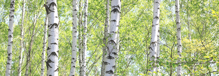 White birch in summer in good weather in birch grove Stock Photo
