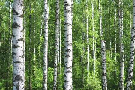 Beautiful birch trees with white birch bark in birch grove with green birch leaves in early summer