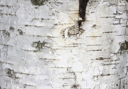 Natural background of birch bark with natural birch texture