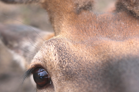 Eye of deer looks into camera, head of young deer close-up