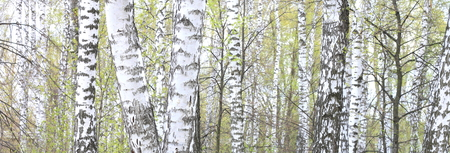 Beautiful birch trees with white birch bark in birch grove with green birch leaves in summer Stock Photo