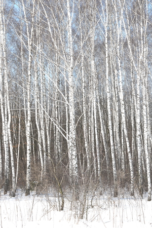 Black and white birch trees with birch bark in birch forest among other birches in winter on snow