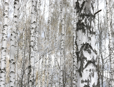 Several birches with white birch bark in birch grove among other birches