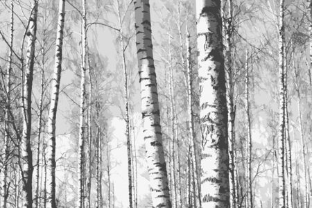Black and white photo with beautiful birches in birch grove Stock Photo