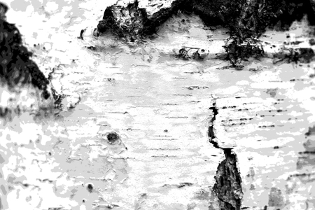 pattern of birch bark with black birch stripes and with wooden birch texture as black and white birch background