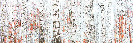 Beautiful birch trees with white birch bark in birch grove with green birch leaves in summer Stock fotó