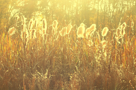 Dry reeds grass at sunset. Landscape of reeds grass background. Autumn reeds grass background. Stock Photo