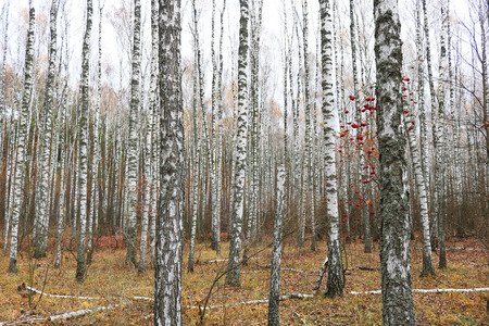 Beautiful scene with birches in yellow autumn birch forest in October among other birches in birch grove Stock Photo