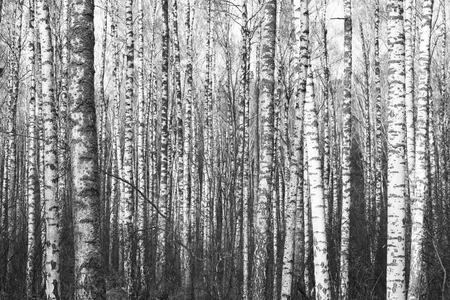 Black and white photo of black and white birches in birch grove with birch bark between other birches Stock Photo