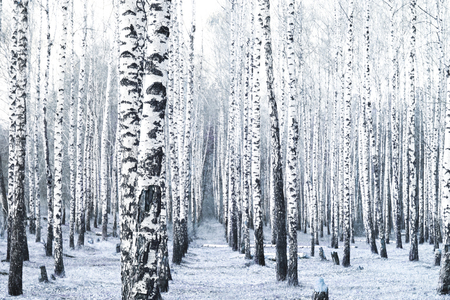 Black and white photo of black and white birches in birch grove with birch bark between other birches 版權商用圖片
