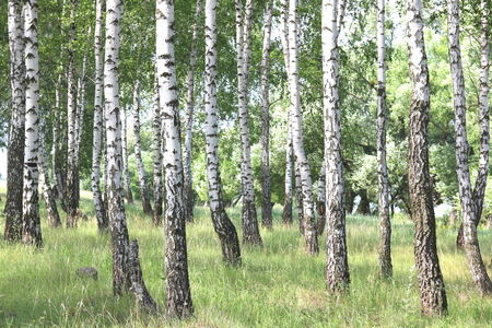 Beautiful birch trees with white birch bark in birch grove with green birch leaves