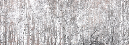 Birch forest in autumn amongst birches grove