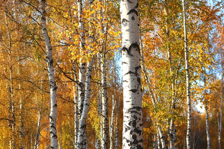 Beautiful scene with birches in yellow autumn birch forest in October among other birches in birch grove Stock fotó
