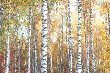 Beautiful scene with birches in yellow autumn birch forest in October among other birches in birch grove 免版税图像