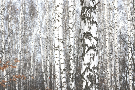 Black and White Birch Trees with Birch Trees