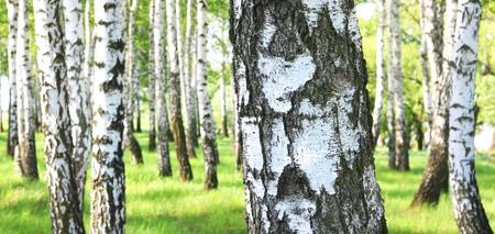 Beautiful birch trees with white birch bark in birch grove