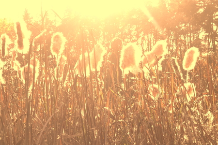 Dry reeds grass at sunset. Landscape of reeds grass background. Autumn reeds grass background