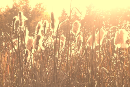 Dry reeds grass at sunset. Landscape of reeds grass background. Autumn reeds grass background 版權商用圖片