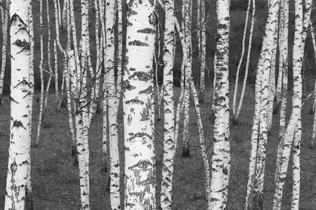 Birch trees with black and white birch trees Standard-Bild