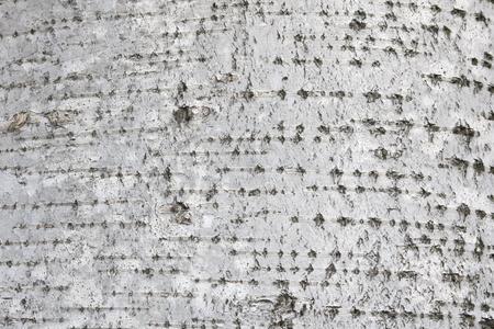 pattern of birch bark with black birch stripes on white birch bark and with wooden birch bark texture Stock Photo