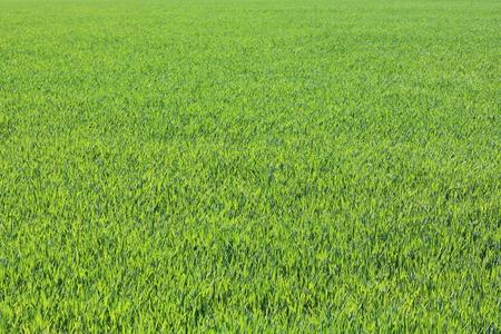 Hierba verde primavera