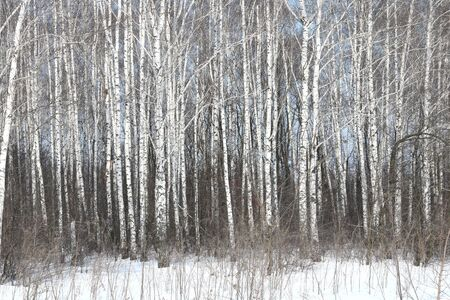 Black and White Birch Trees with Birch Trees in Birch Forest in Winter Snow 写真素材