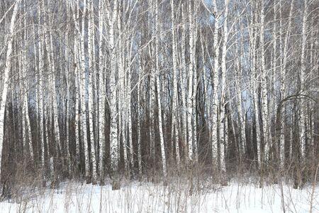 Schwarze und weiße Birken mit Birken im Birkenwald im Winterschnee Standard-Bild