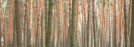 Pine forest panorama with beautiful high pine trees in summer in sunny weather