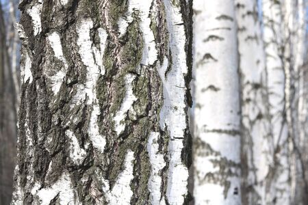 Young birches with black and white birch bark in spring