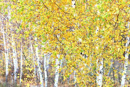 beautiful scene with birches in yellow autumn birch