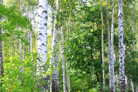 Young birch with black and white birch bark in spring