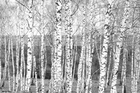 birches in october