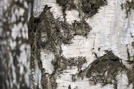 Young Birch Birch