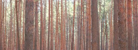 Pine trees in sunny weather