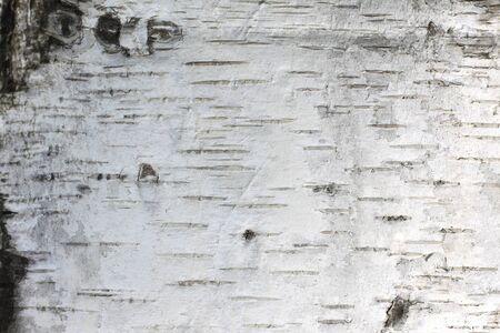 pattern of birch bark with black birch stripes on white birch bark and with wooden birch bark texture Zdjęcie Seryjne