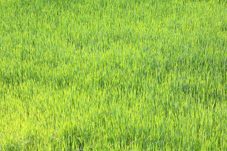 Herbe verte de printemps