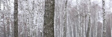 Young birch with black and white birch bark in spring in birch grove