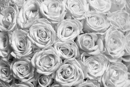Black and white background with beautiful white roses Stock Photo