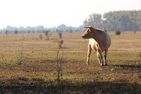 Young brown cow in morning in field on farm in autumn 版權商用圖片