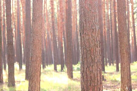 Pine forest with beautiful high pine trees against other pines with brown textured pine bark in summer in sunny weather Zdjęcie Seryjne