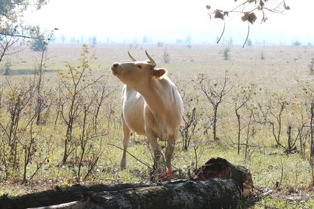 Young brown cow in morning in field on farm in autumn 写真素材