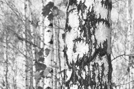 Young Birch forest 版權商用圖片