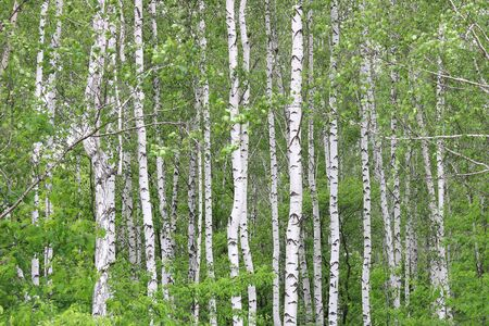 Young Birch with Black and White Birch