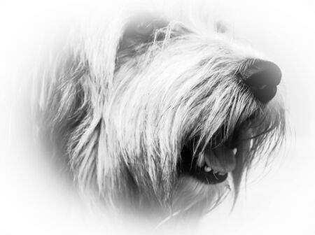 head of thoroughbred shaggy dog with white coarse hair