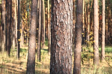 Pine forest with beautiful high pine trees against other pines with brown textured pine bark in summer in sunny weather