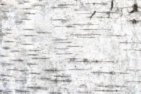 pattern of birch bark with black birch stripes on white birch bark and with wooden birch bark texture 版權商用圖片