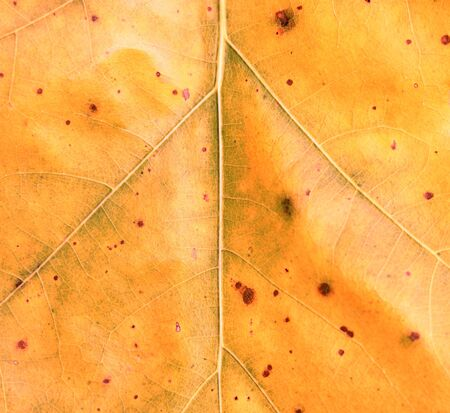 Texture of yellow autumn oak leaf as natural background