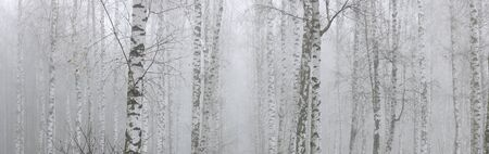Young birches with black and white birch bark in spring in birch grove